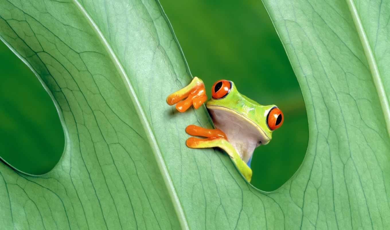 grenouille, yeux, peint, papier, rouges, mac, pro, macbook, rainette, retina,