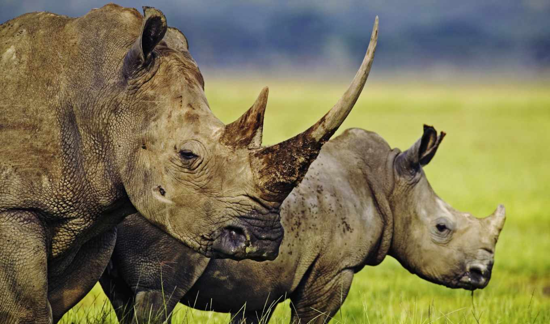 носороги, носорога, носорог, носорогов, животных, но, они, яndex, может, их,
