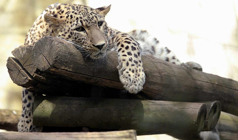 леопард, планшета, леопарды, кошки, zhivotnye, ноутбука, телефона, картинку, большие,