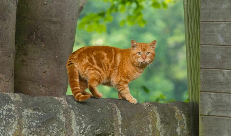 kot, кошка, рыжий, koshachii, полосатый, порода, noutbuk