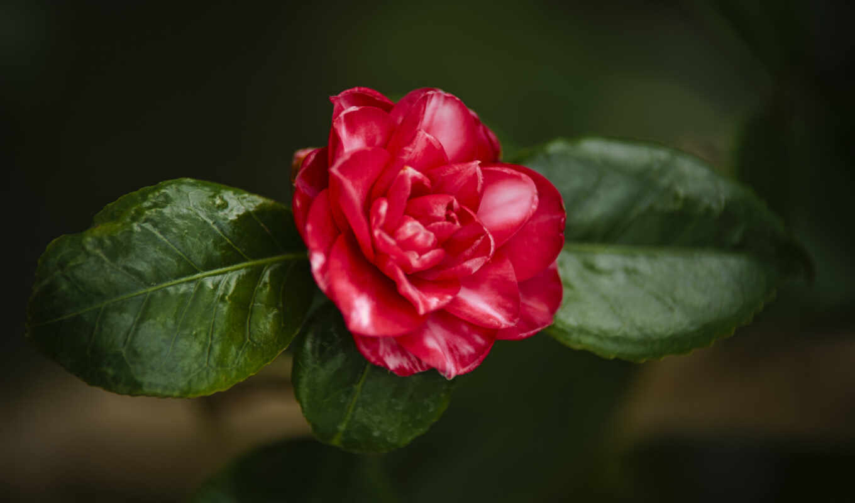 bordovyi, цветы, лист, картинка