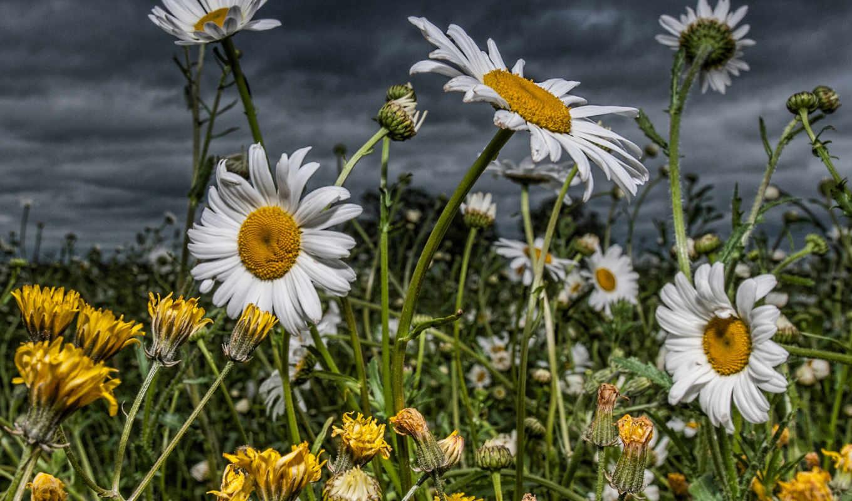 цветы, поле, ромашки, одуванчики, white, flowers,