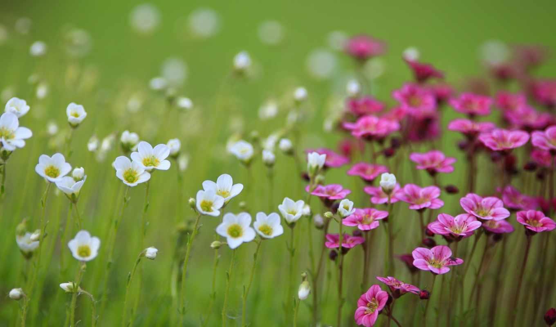 цветы, белые, розовые, растительность, категории,