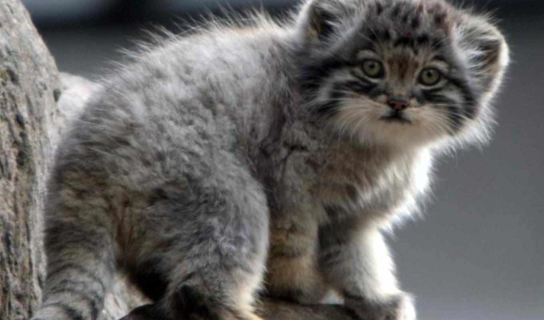кот, котенок, манул, палласов, kittens, chartreux, more, see, об, cats,