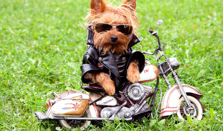 dog, funny, biker, трава, cool, pictures, мотоцикл, куртка, очки, images,