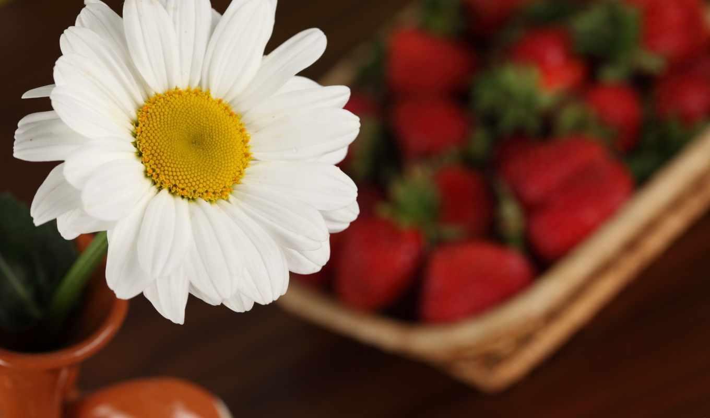 ромашки, макро, цветы,