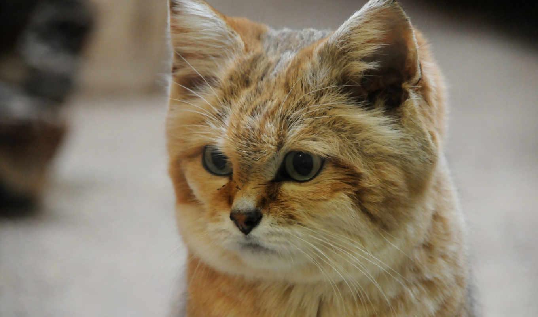 кот, пустыня, порода, редкая,