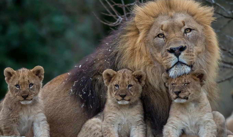 lion, львята, browse, женский, грива, семья,