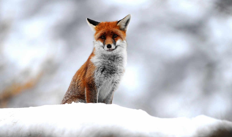 природа, телефон, трава, снег, рыжая, фокс, снегу, лисы,