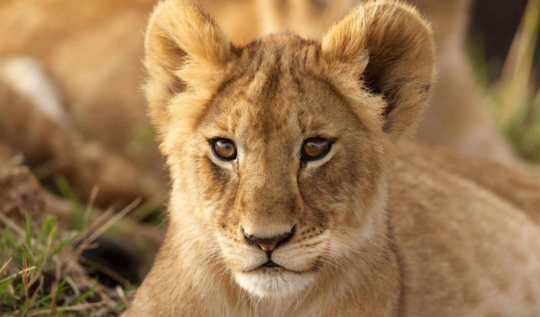 lion, leão, parede, планшетный, filhotes, ноутбук, львенок, взгляд, desktop,