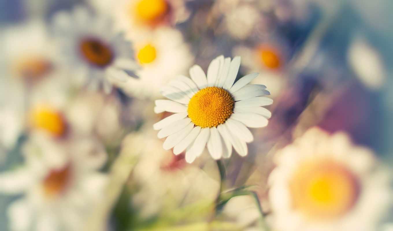 ромашка, макро, цветок, высокое, качество,