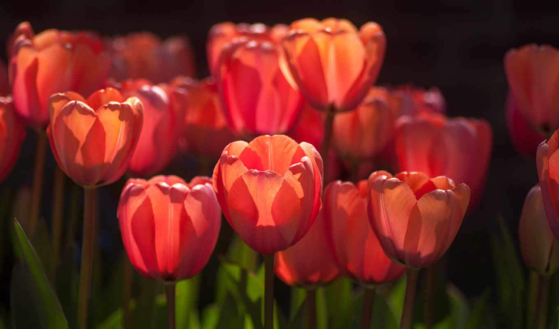 тюльпаны, цветы, red,