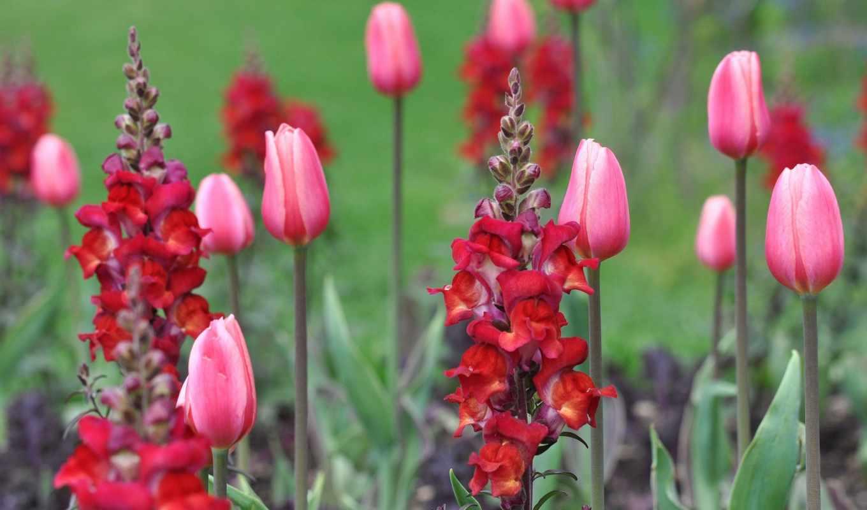 ,тюльпаны,цветы, besthdw,красные тюльпаны,