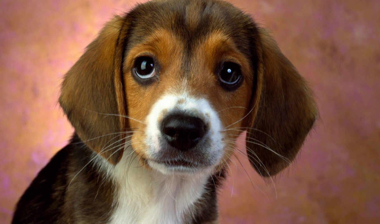 собаки, щенка, щенок, кошки, завести, себе, бигля, small, против,