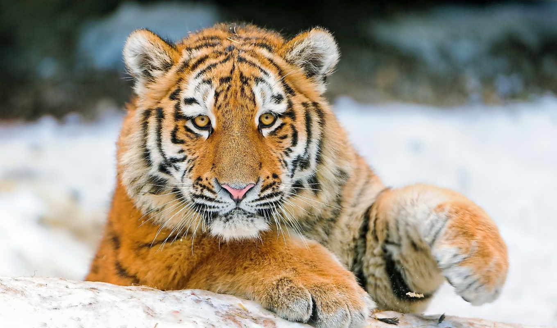 zhivotnye, тигры, широкоформатные, картинка,