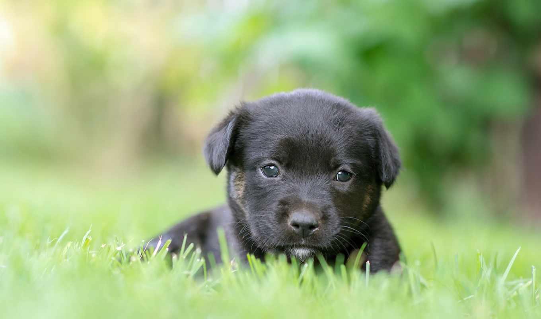 dog breed, собака, canidae, щенок, лабрадор,