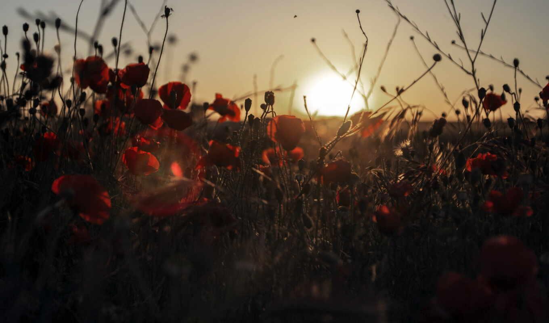 poppy, природа, цветы, поле, утро, common, landscape, маки