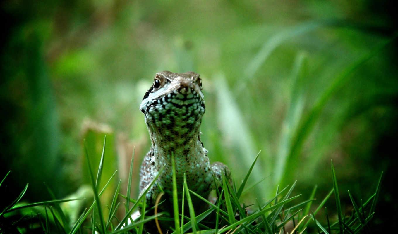 траве, ящерица, зелёная,