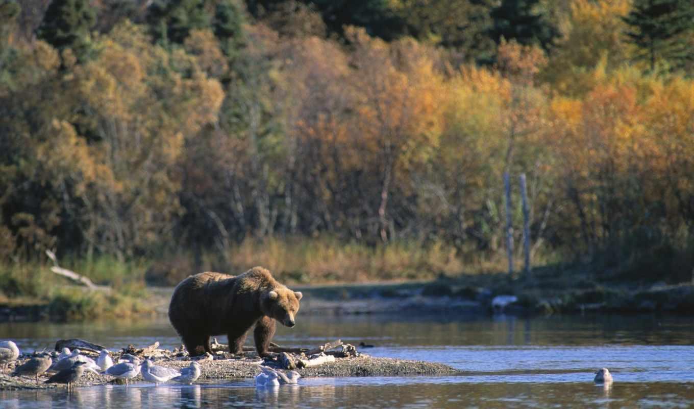 brown, bear, alaska, животные, الاسكا, claim, staking, his, телефон, predators, анимации, картинка, без, bears, score, картинку,