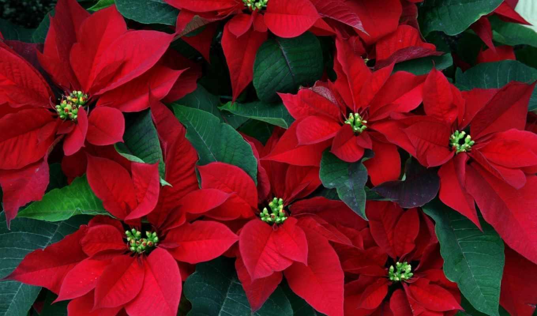 star, рождественская, пуансетия, цветы, красные,