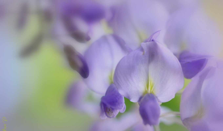 изображение, flowers, tech, cvety, makro, машины, мужчины, purple, wisteria,