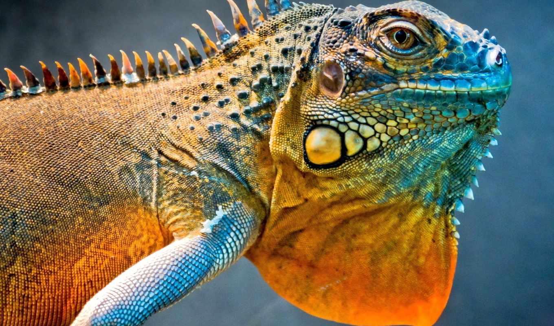 ,iguana, игуана,