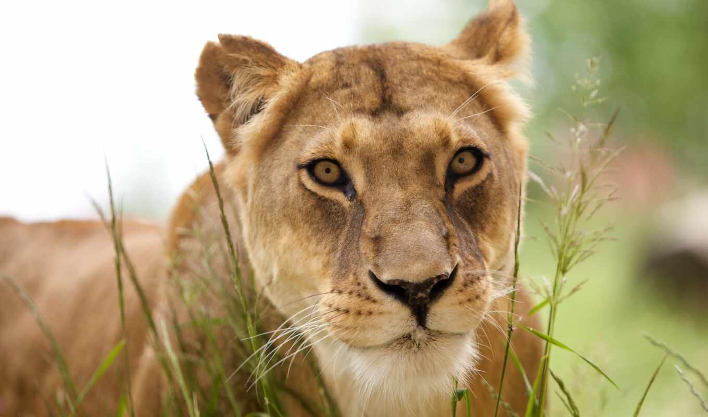 львица, left, морда, lion, animal, хищник