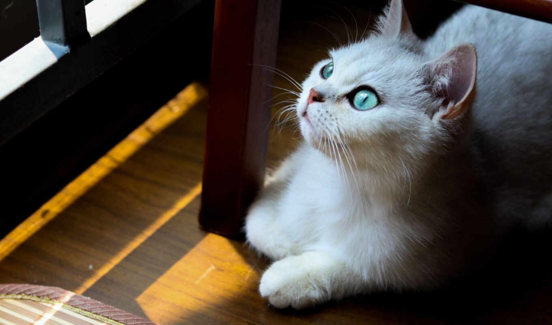 кот, паула, ложь, white, blue, глаз, под, кресло