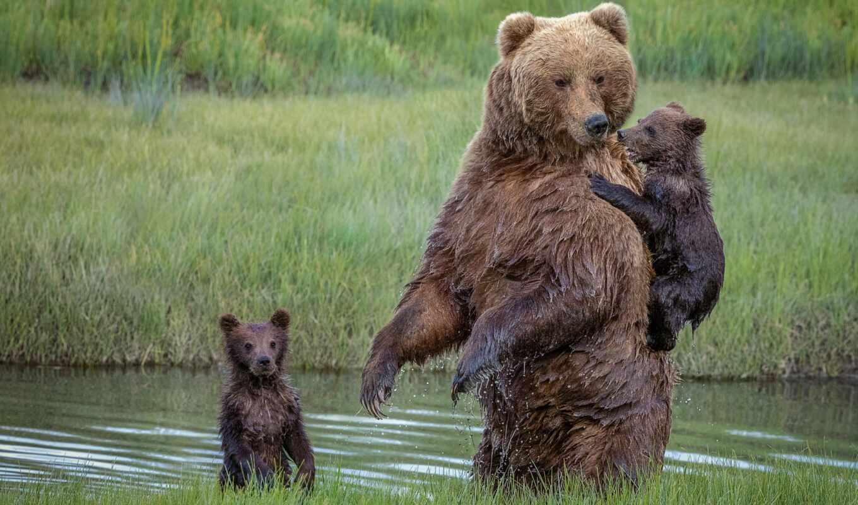 медведь, animal, alive, ursa, medvezhonok, браун, wild, moma, идея, canvas
