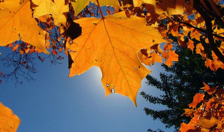 широкоформатные, ассорти, autumn, full, nature, tree, maple, leaf, sky,