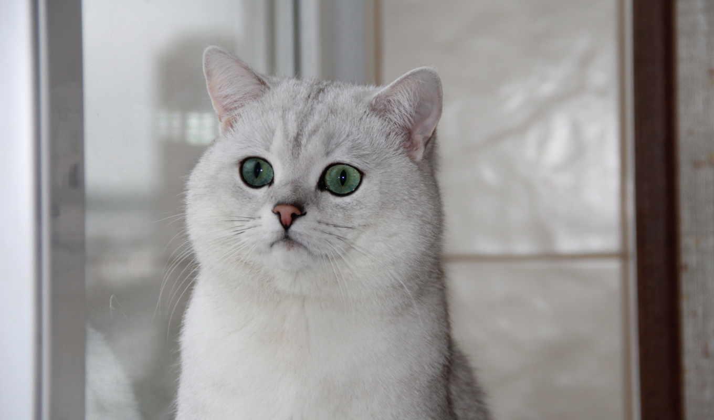 британская, кошка, шиншилла, картинка, глаза, зеленые, british, окно, shorthair,