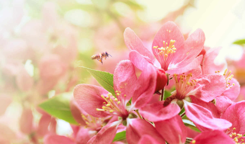 весна, цветы, Сакура, цветение, branch, пчелка, лепестки, красавица,