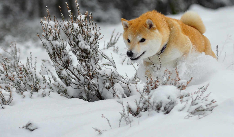 hunting, зимняя, zhivotnye, сиба, игры, shiba, породы, оружие,