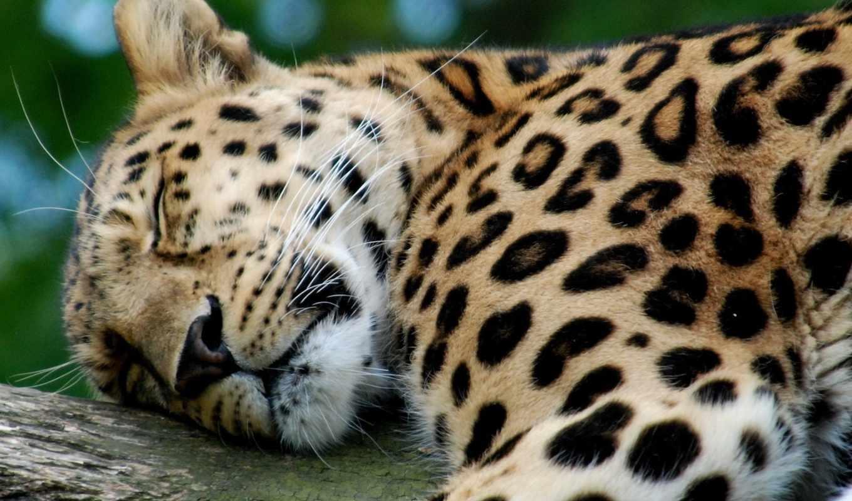 animals, desktop, leopards, high, arts, zoo, леопард, cool,