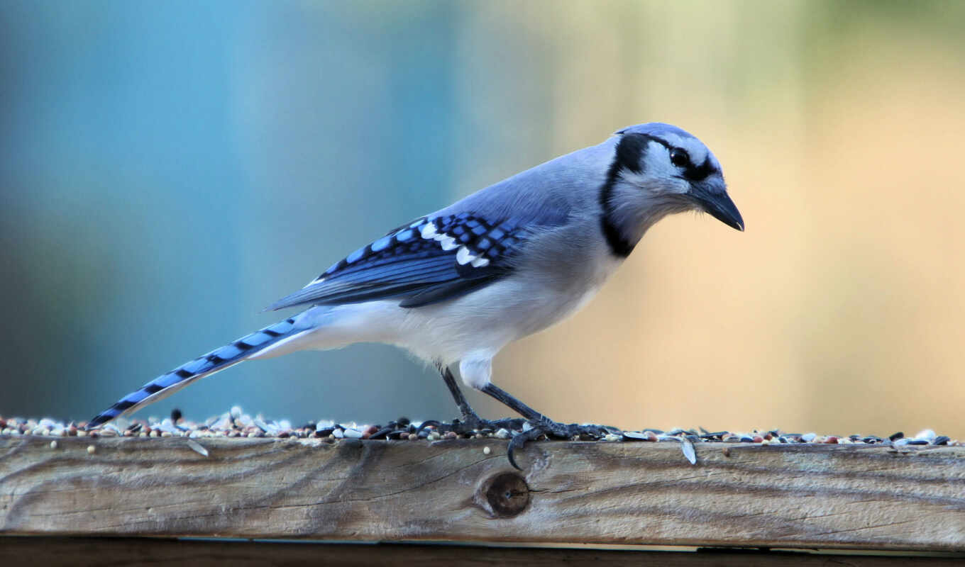 джей, blue, titmouse, птица, который, заснеженный, branch