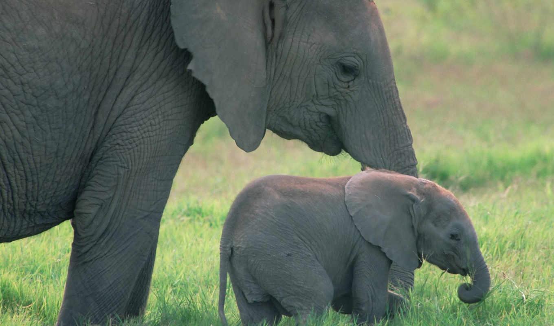 картинку, слоны, fil, elephant, африканские слоны, животные,