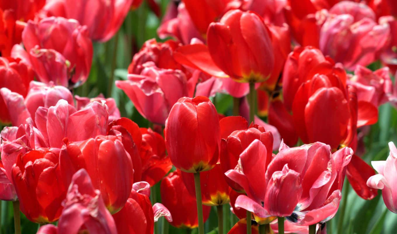 flores, rojos, petalos, con, цветы, fondos, muchos, tulipanes, ahora,