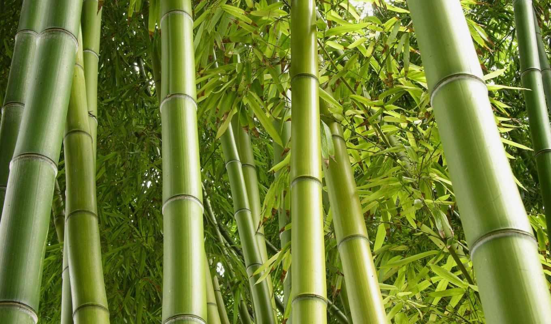 рост, как картинки бамбук для телефона визит