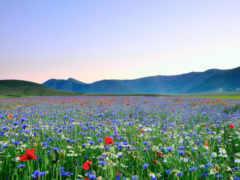 поле, цветов, коллекциях