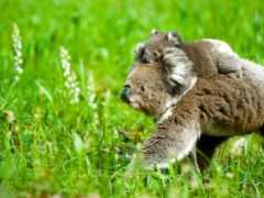 коалы, коала, коллекцию