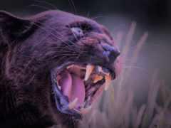panther, black, пантера