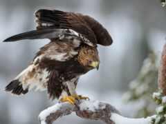 hawk, перепелятник, орлан