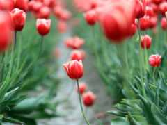 цветы, garden, тюльпан