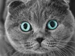 кот, вислоухий, scottish