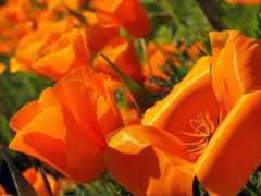 poppy, эшшольция, cvety