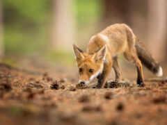 фокс, animal, молодой