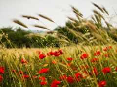 поле, солнцеворота, одуванчиков