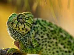 chameleon, common, id