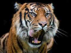 тигр, зверь, зубы