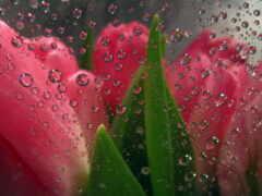 цветы, glass, тюльпан